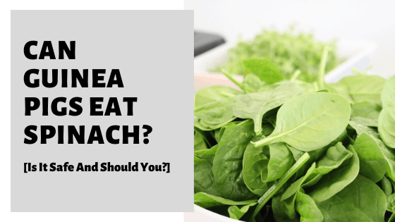 Can Guinea Pigs Eat Spinach? [Is It Safe And Should You?]