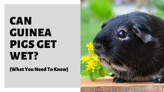 Can Guinea Pigs Get Wet_ [What You Need To Know]