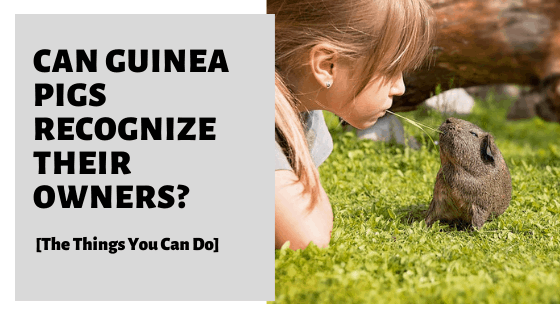 Can Guinea Pigs Recognize Their Owners