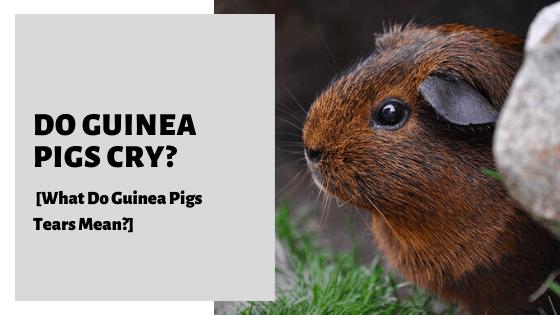 Do Guinea Pigs Cry? [What Do Guinea Pigs Tears Mean?]