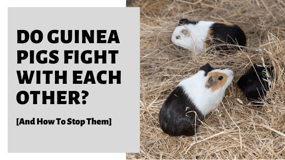 Do Guinea Pigs Fight With Each Other [And How To Stop Them]