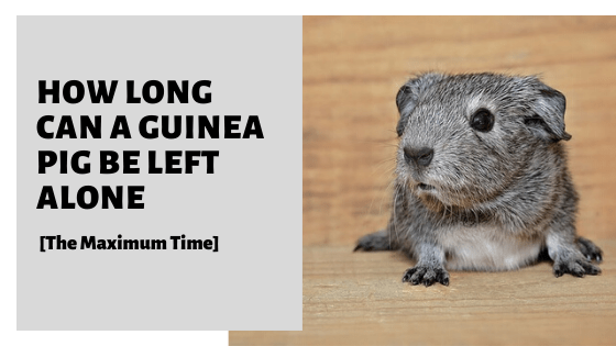 How Long Can A Guinea Pig Be Left Alone [The Maximum Time]