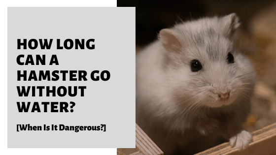How Long Can A Hamster Go Without Water? [When Is It Dangerous?]