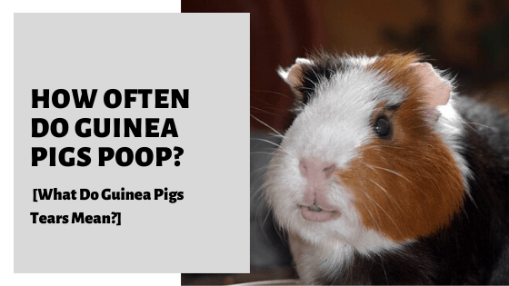 How Often Do Guinea Pigs Poop [What You Should Expect]