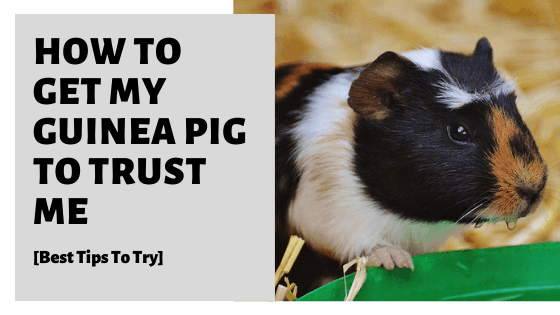 How To Get My Guinea Pig To Trust Me [Best Tips To Try]