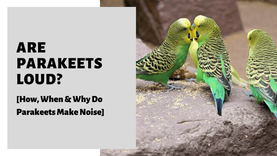 Are Parakeets Loud? [How, When & Why Do Parakeets Make Noise]