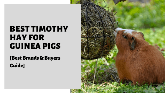 Best Timothy Hay For Guinea Pigs [Best Brands & Buyers Guide]