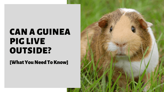 Can A Guinea Pig Live Outside [What You Need To Know]