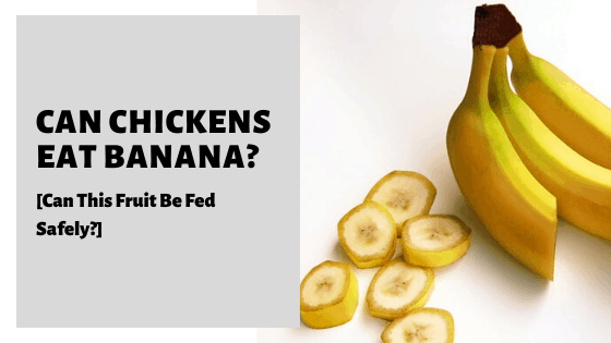 Can Chickens Eat Banana? [Can This Fruit Be Fed Safely?]