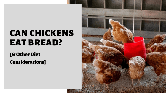 Can Chickens Eat Bread [& Other Diet Considerations]