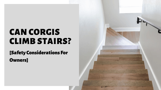 Can Corgis Climb Stairs? [Safety Considerations For Owners]