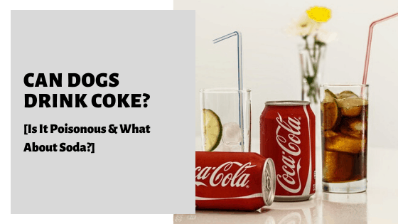 Can Dogs Drink Coke_ [Is It Poisonous & What About Soda_]
