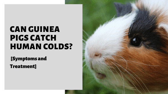 Can Guinea Pigs Catch Human Colds? [Symptoms and Treatment]