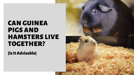 Can Guinea Pigs and Hamsters Live Together? [Is It Advisable]