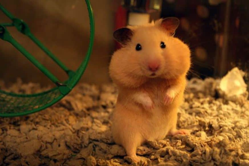 Can Hamsters Store Water In Their Cheeks