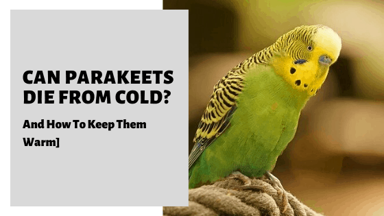 Can Parakeets Die From Cold? [And How To Keep Them Warm]