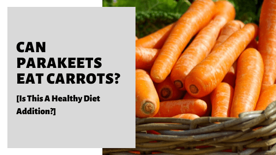 Can Parakeets Eat Carrots [Is This A Healthy Diet Addition?]