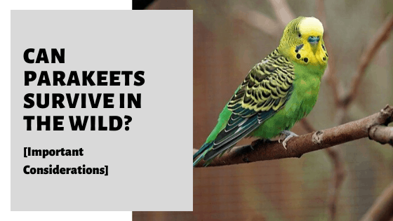 Can Parakeets Survive In The Wild [What You Need To Know]