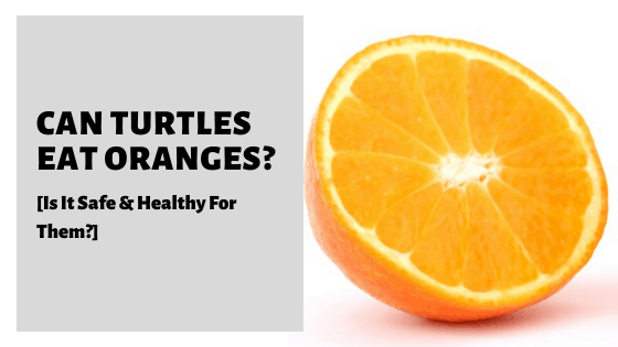 Can Turtles Eat Oranges? [Is It Safe & Healthy For Them?]