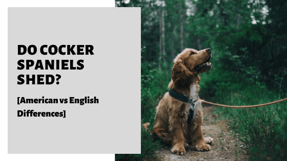 Do Cocker Spaniels Shed_ [American vs English Differences]