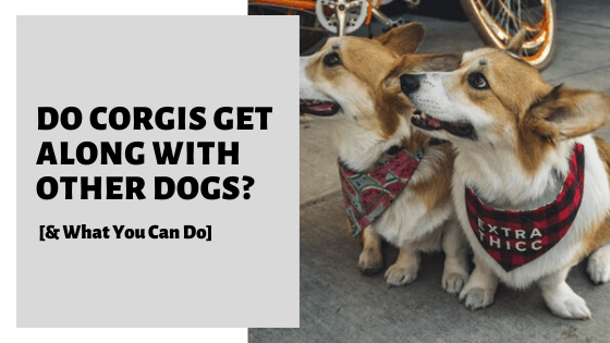 Do Corgis Get Along With Other Dogs? [& What You Can Do]