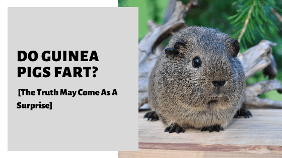 Do Guinea Pigs Fart? [The Truth May Come As A Surprise]