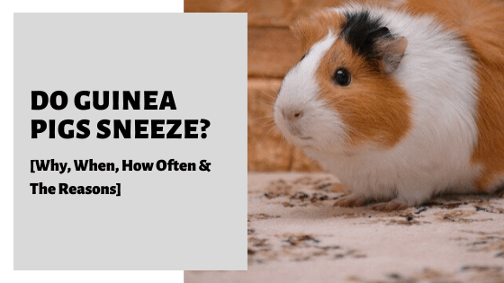 Do Guinea Pigs Sneeze_ [Why, When, How Often & The Reasons]