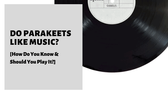 Do Parakeets Like Music [How Do You Know & Should You Play It]