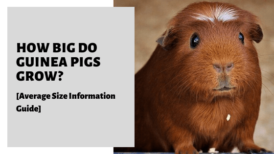 How Big Do Guinea Pigs Grow [Average Size Information Guide]