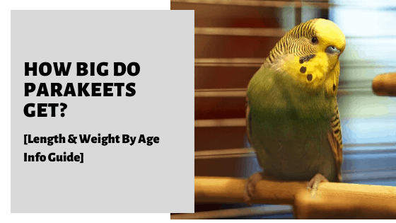 How Big Do Parakeets Get? [Length & Weight By Age Info Guide]
