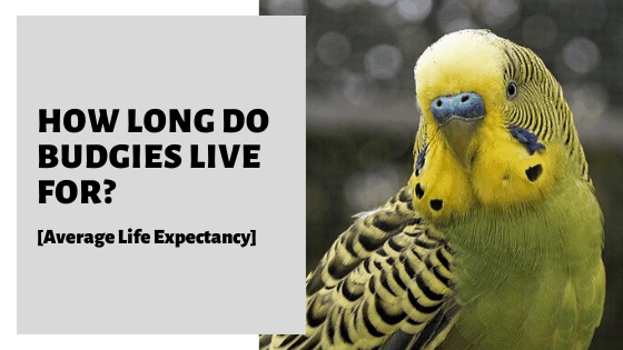 How Long Do Budgies Live For? [Average Life Expectancy]