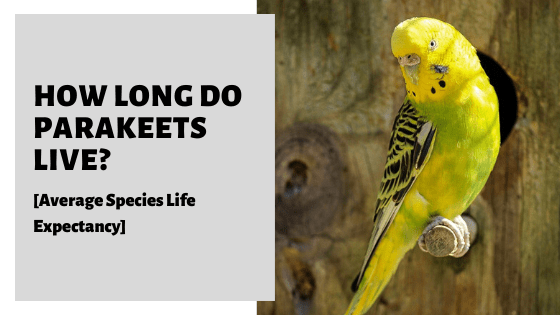 How Long Do Parakeets Live? [Average Species Life Expectancy]