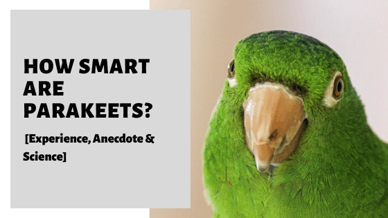 How Smart Are Parakeets? [Experience, Anecdote & Science]