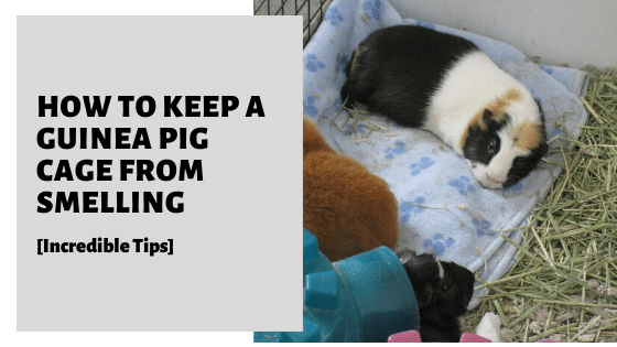 How To Keep A Guinea Pig Cage From Smelling [Incredible Tips]