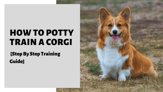 How To Potty Train A Corgi [Step By Step Training Guide]