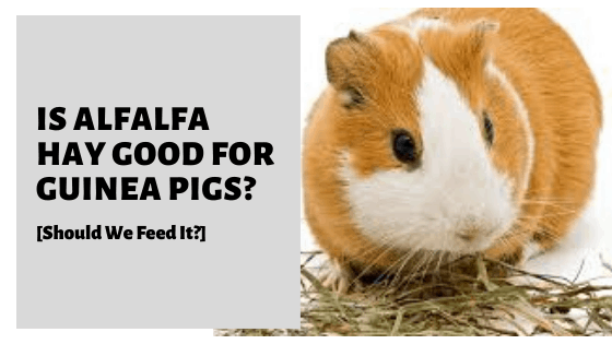 Is Alfalfa Hay Good For Guinea Pigs? [Should We Feed It?]