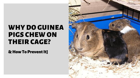Why Do Guinea Pigs Chew On Their Cage? [& How To Prevent It]
