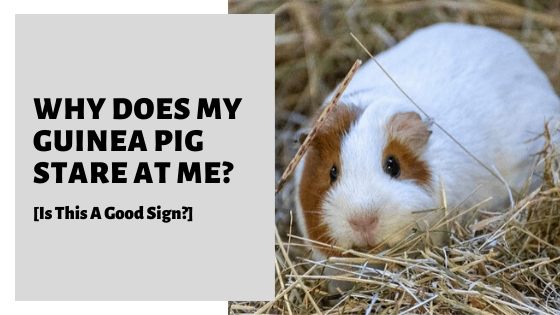 Why Does My Guinea Pig Stare At Me? [Is This A Good Sign?]