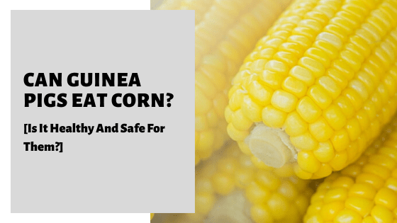 Can Guinea Pigs Eat Corn_ [Is It Healthy And Safe For Them_]