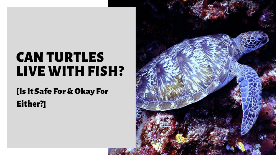 Can Turtles Live With Fish? [Is It Safe For & Okay For Either?]
