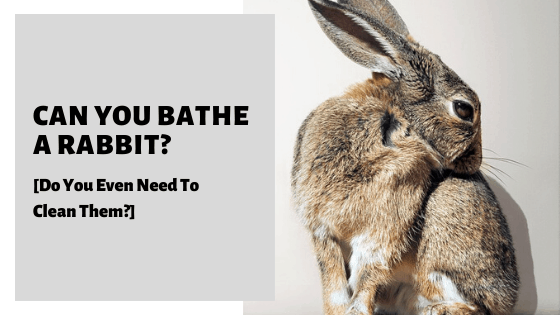 Can You Bathe A Rabbit? [Do You Even Need To Clean Them?]