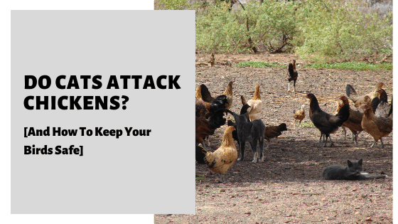 Do Cats Attack Chickens_ [And How To Keep Your Birds Safe]