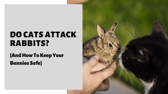 Do Cats Attack Rabbits? [And How To Keep Your Bunnies Safe]