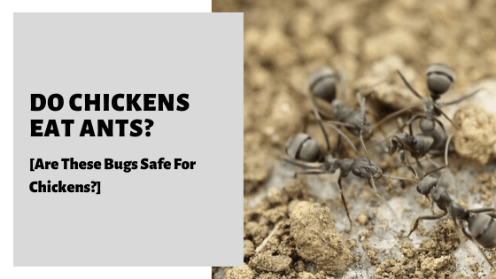 Do Chickens Eat Ants? [Are These Bugs Safe For Chickens?]