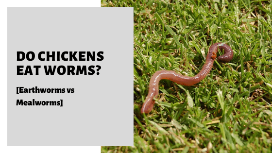 Do Chickens Eat Worms_ [Earthworms vs Mealworms]