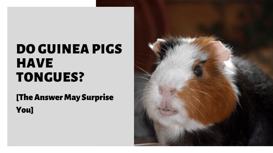 Do Guinea Pigs Have Tongues_ [The Answer May Surprise You]