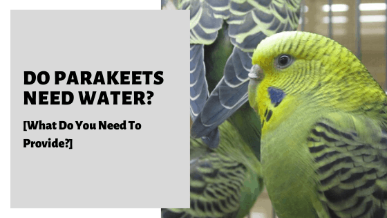 Do Parakeets Need Water_ [What Do You Need To Provide_]