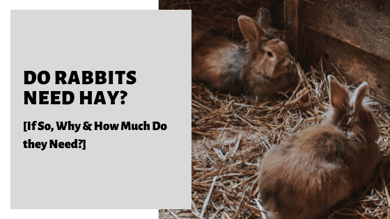 Do Rabbits Need Hay [If So, Why & How Much Do they Need?]