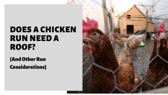 Does A Chicken Run Need A Roof_ [And Other Run Considerations]