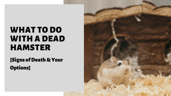 What To Do With A Dead Hamster [Signs of Death & Your Options]